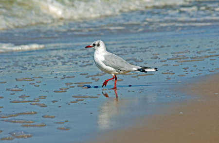 blanco gaviota en la playa, Polonia, el B�ltico photo