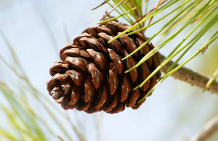 pinecone on pine tree, Greece,Rhodes