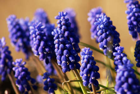 hyacinths: grape hyacinths in garden at spring Stock Photo