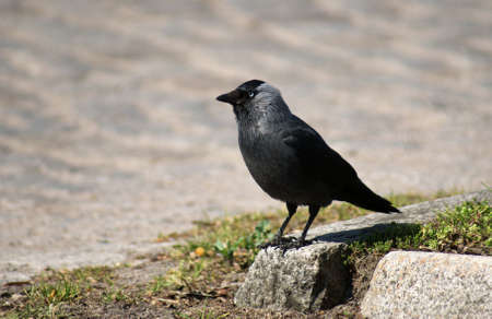 jackdaw: black jackdaw