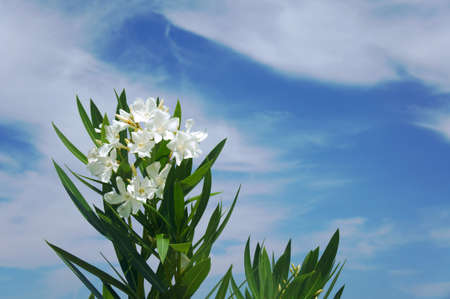 shurb: flowers of nerium oleander, Greece