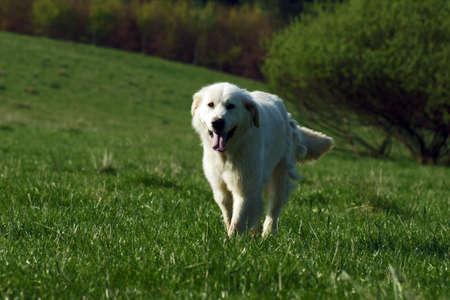 herding dog: Tatra sheepdog - herding dog in the Pieniny