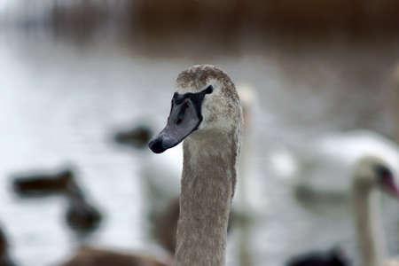 wielkopolska: Portrait of a gray swan, Poland Stock Photo