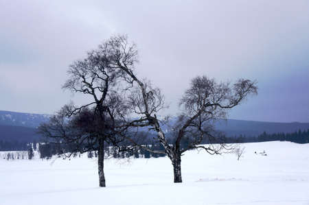 snow clearing: Trees in snow clearing in the Jizera Mountains