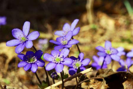 hepatica: Hepatica nobilis in forest in spring