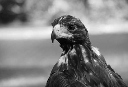 blak and white: eagle in zoo in Poland