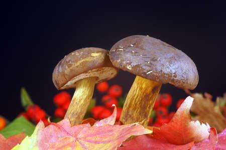 bolete: Bolete - a couple of fungi in leaves