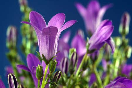 flores moradas: Tono o Campanula - flores p�rpuras