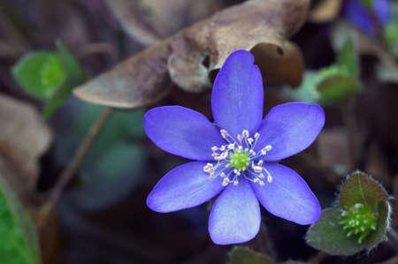 hepatica: Spring Hepatica flower in the garden  Stock Photo