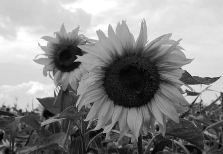black and white cornfield with sunflowers, Poland photo