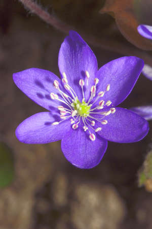 hepatica: Spring Hepatica flower in the garden Stock Photo