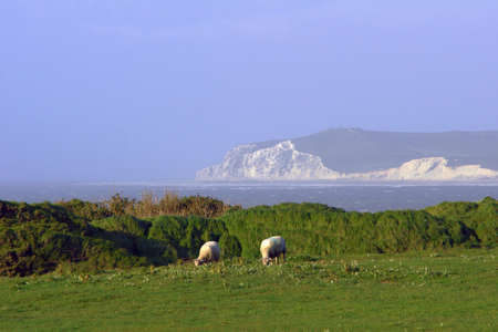 english channel: Sheep in the pasture over the English Channel in France Stock Photo