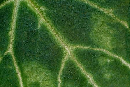 senecio: Close-up of a fragment of flower leaf Senecio