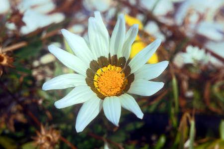 corfu: white gazania flower, Corfu island, Greece
