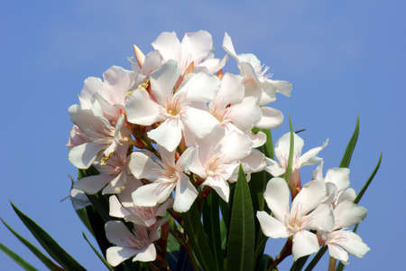 white flowers of nerium oleander, Greece Stock Photo