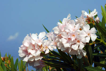 shurb: white flowers of nerium oleander, Greece Stock Photo