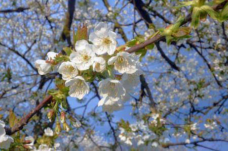 Weiße Blüten Auf Einem Baum Im Frühjahr In Polen Lizenzfreie Fotos ...
