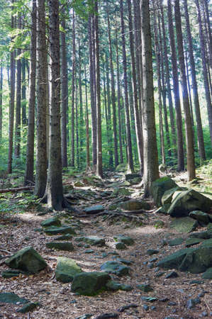 dense forest: the dense forest in the mountains