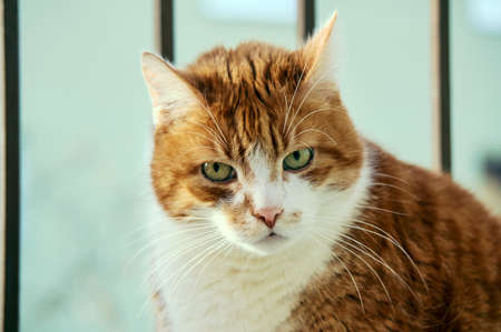 nostrils: Red and white male European cat