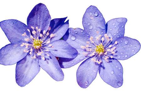 liverwort: Spring liverwort flower isolated on white background