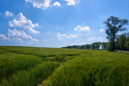 maturing: Country Road in maturing crops in Poland