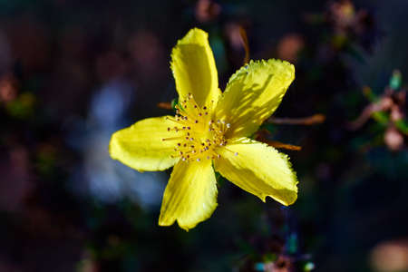 wort: Common St. St. Johns Wort - a yellow flower in a meadow