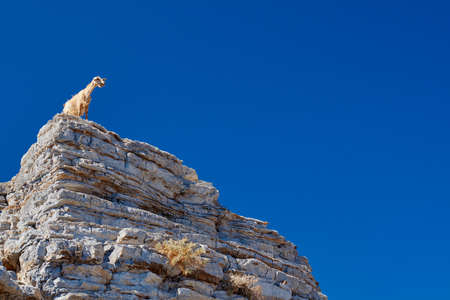 wild goat: Wild goat on top of the cliffs on the island of Kos in Greece