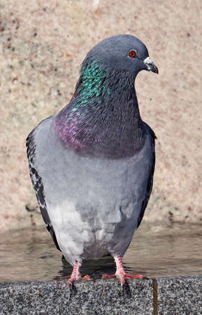beak doves: Portrait of a gray pigeon in Poland