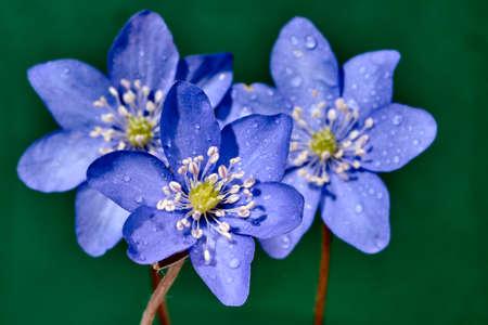 liverwort: Close liverwort spring flower in garden Stock Photo