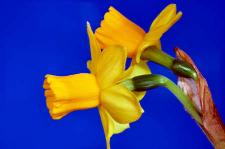 bouquet fleurs: Yellow daffodil flower in spring Banque d'images