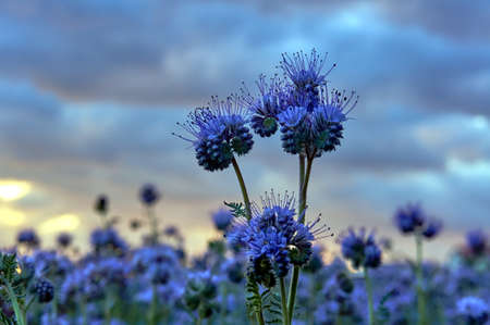 providing: Phacelia - blue field, providing honey flowers