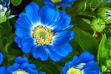 senecio: Senecio - blue flowers decorative