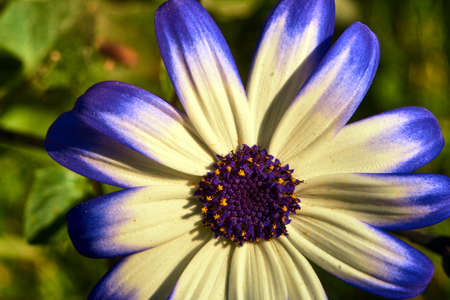 african daisy: Close up of an African daisy flower in summer in the garden Stock Photo