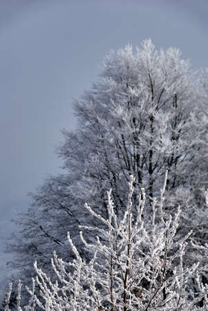 snowcovered: Snow-covered branches of spruce winter in Beskidy Mountains in Poland