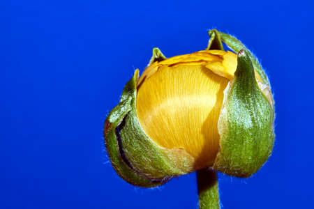 buttercup flower: Buttercup flower and bud in the studio on a blue background Stock Photo