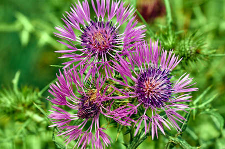 thistle: Blooming thistle in the spring in southern France
