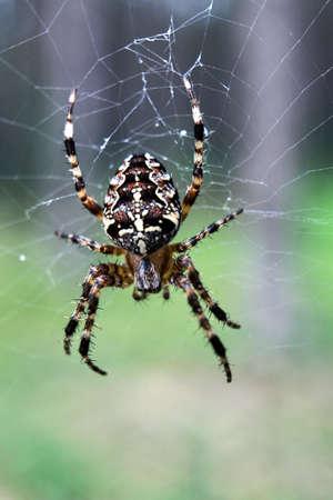 arthropod: Garden cross spider hunting on a spiderweb in Poland