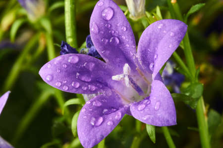 campanula: garden with purple campanula flowers in spring