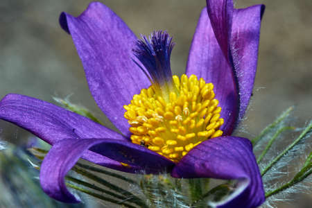 pasque: Pasque flower in spring in the garden