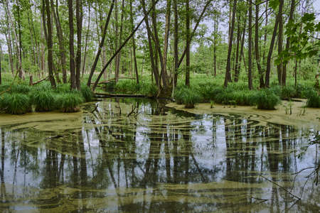 swampy: Lemna a swampy lake in a forest in Poland