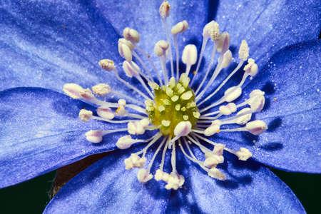 liverwort: Close spring flower liverwort in garden  Stock Photo