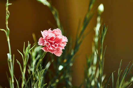 developed: Opened carnation flower in summer on the Greek island of Crete Stock Photo