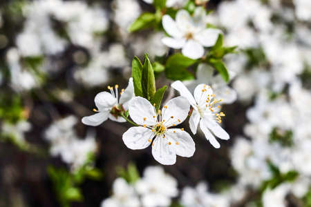 Small white flowers on a tree in the spring in poland stock photo small white flowers on a tree in the spring in poland stock photo 76270680 mightylinksfo