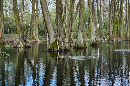 spillway: Reflection of trees in forest in spring in Poland Stock Photo