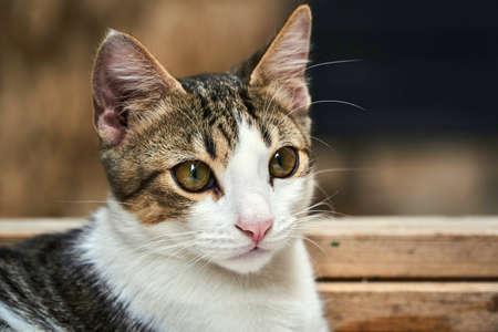 Portrait of gray and white cat in Croatia Stock Photo