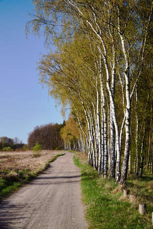 A dirt road and birch coppice in spring in Poland Stock fotó