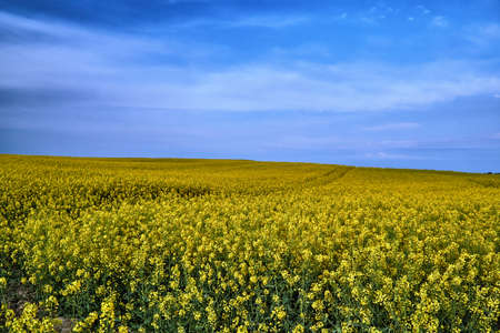 Rural landscape with a blossoming rapeseed in Poland