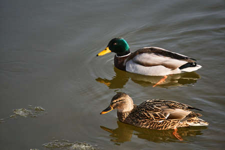 Female and Male mallard duck floating on the lake in Poland Stock Photo