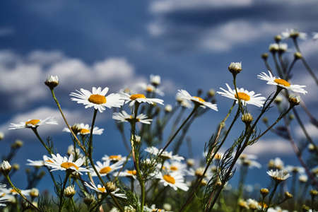 Beautiful, white and yellow camomile flowers against the sky