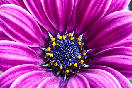 Detail of a beautiful colorful Flower African daisy